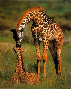Giraffesposters